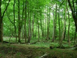 Boronkai erdő