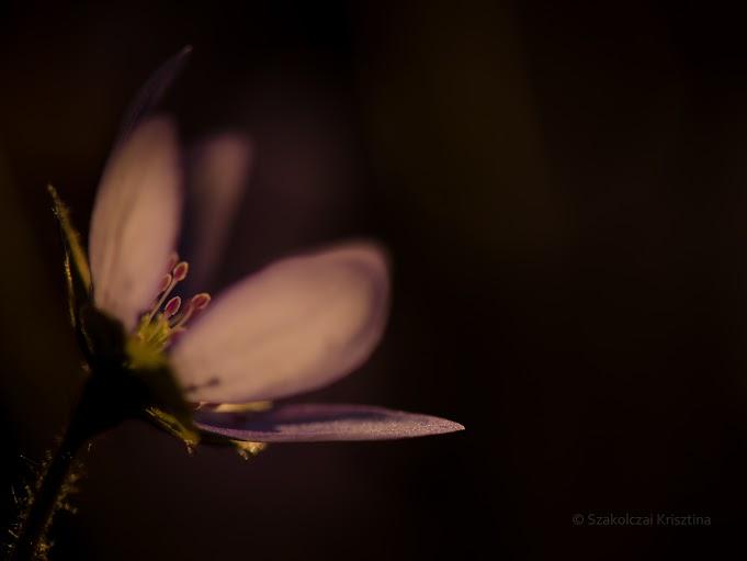 Májvirág - Fotó:Szakolcai Krisztina