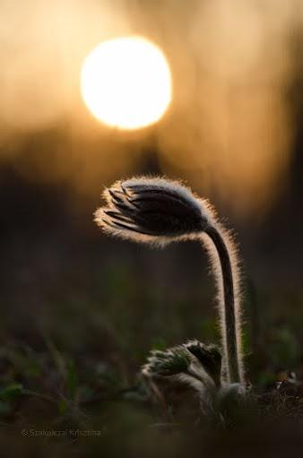 Fekete kökörcsin - Fotó:Szakolcai Krisztina