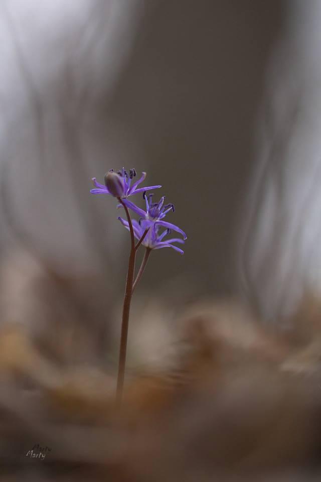 Ligeti csillagvirág- fotó:Martha Kiss Sz