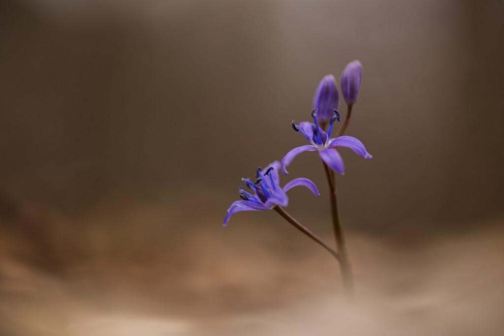 Ligeti csillagvirág - fotó: Adam Forster