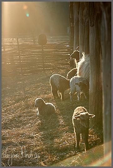Ma született bárányok